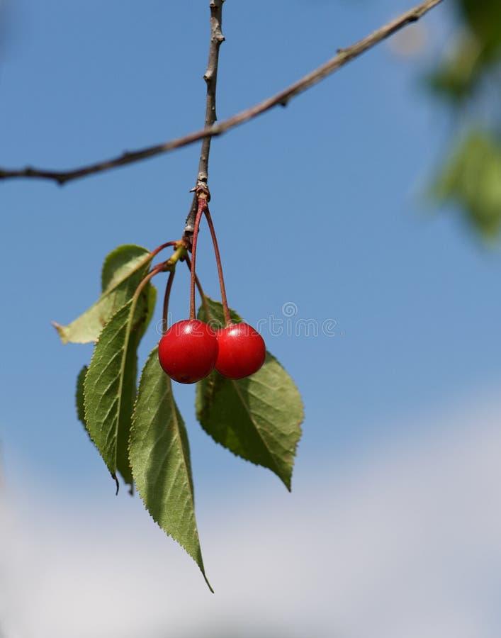 Den nya röda körsbäret på ett träd i trevlig bakgrund för blå himmel, sommar bär frukt, fragmentfotoet för det körsbärsröda träde arkivbild