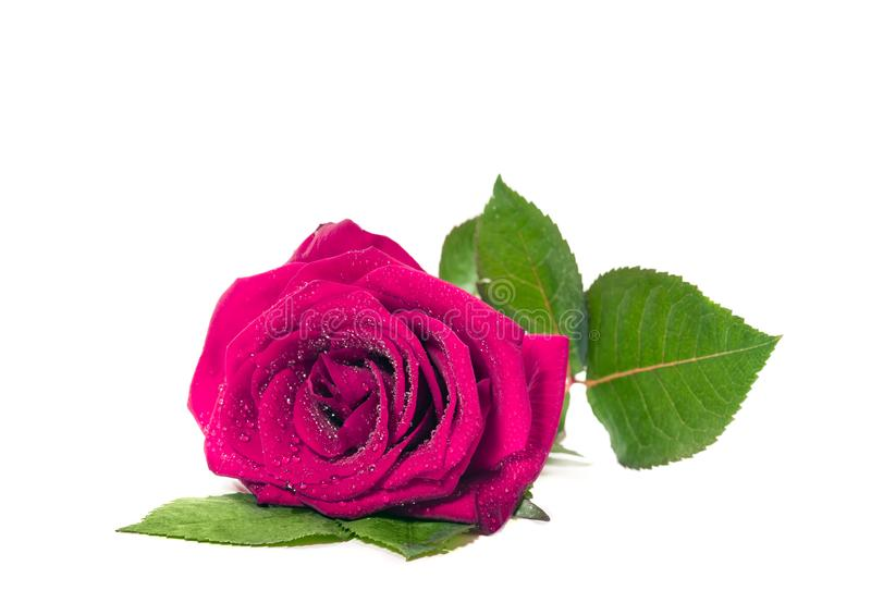 Den nya röda rosa rosen med dagg tappar isolerat royaltyfri foto