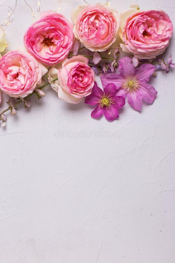 Den nya rosa violett sommarklematins för rosor och blommar på grå färgbac royaltyfri foto