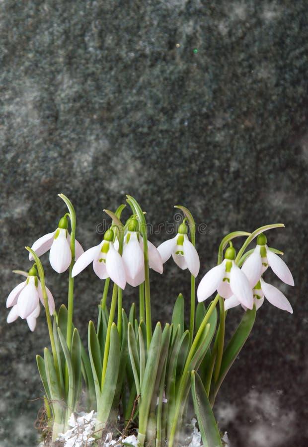 Den nya snödroppen blommar mot stenbakgrund arkivfoton