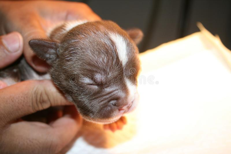 Den nyfödda valpen sover efter hundsjukvård royaltyfria bilder