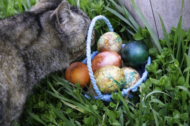 Den nyfiket gråa katten sniffar en blå korg med påskägg som står på det gröna gräset nära stubben fotografering för bildbyråer