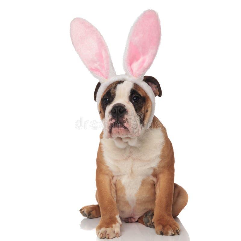 Den nyfikna engelska bulldoggen som kläs som den easter kaninen, ser för att sid royaltyfria bilder