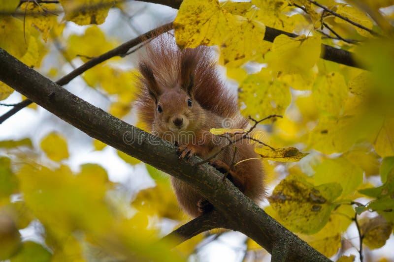 Den nyfikna röda ekorren sitter på ett träd bland de gula sidorna arkivbilder