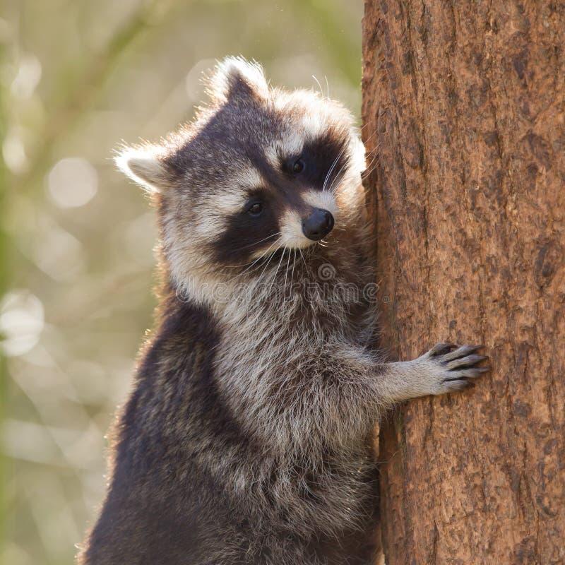 Den nyfikna tvättbjörnen klättrar ett träd arkivfoton