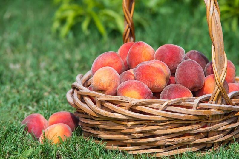 Den nytt valda persikan bär frukt i korg fotografering för bildbyråer