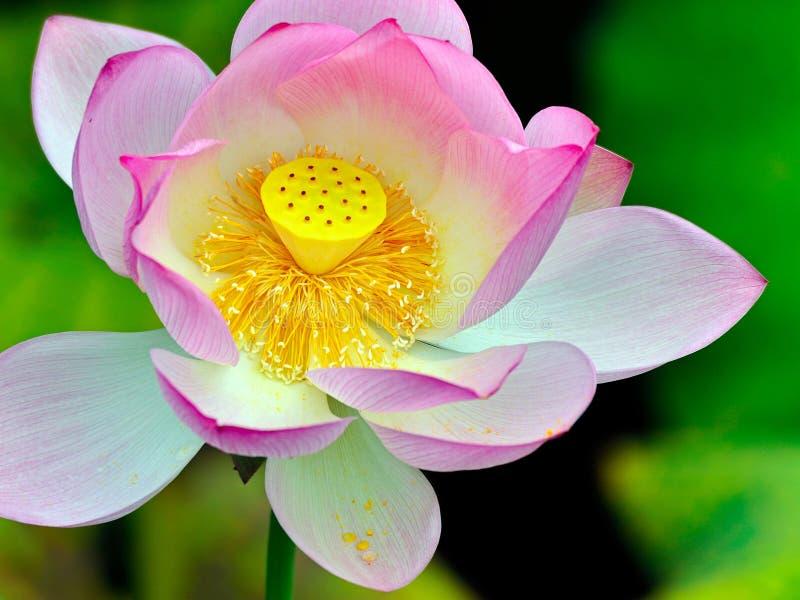 Den oavkortade blom för härlig lotusblomma arkivbilder