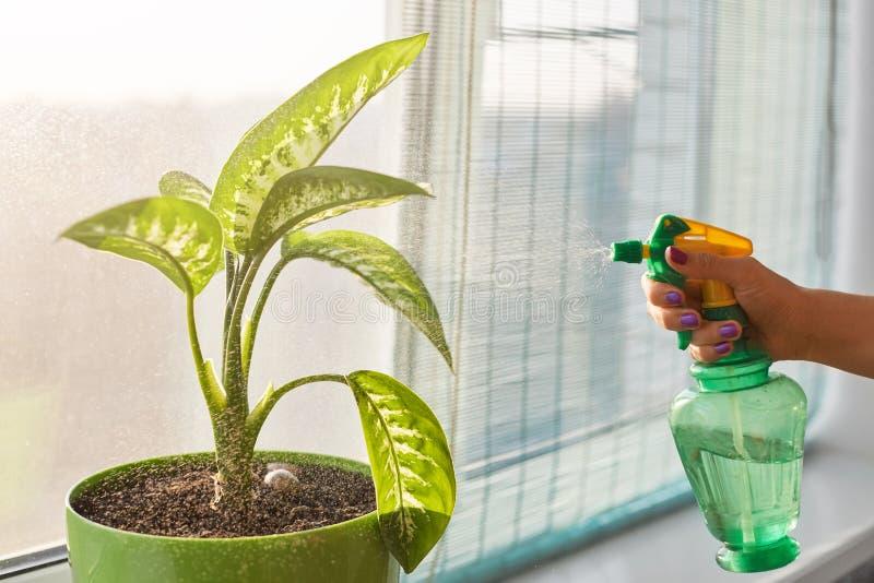 Den oigenkännliga kvinnan rymmer pulverizeren, vattenhouseplant med sprejaren som står i kruka på fönsterfönsterbräda Kvinnlig me royaltyfri bild