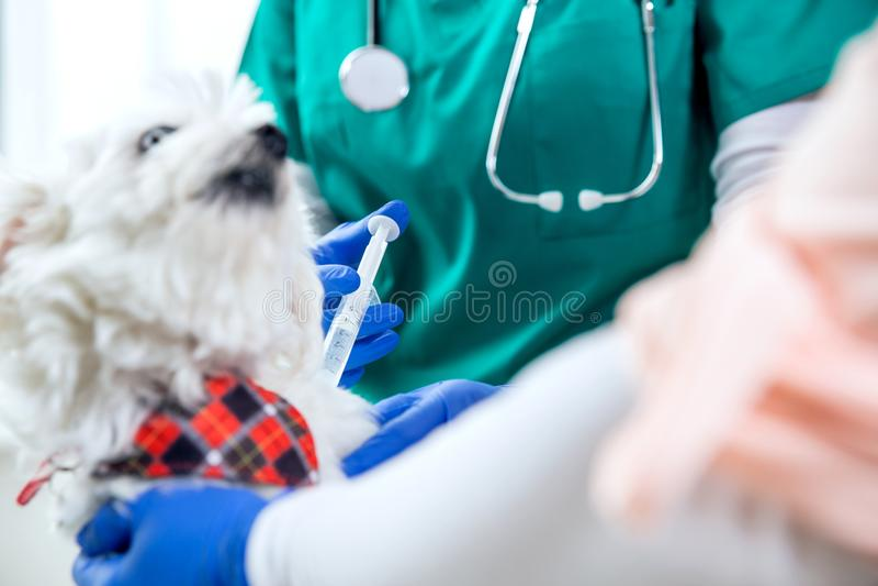 Den oigenkännliga veterinären gör en injektion arkivfoton