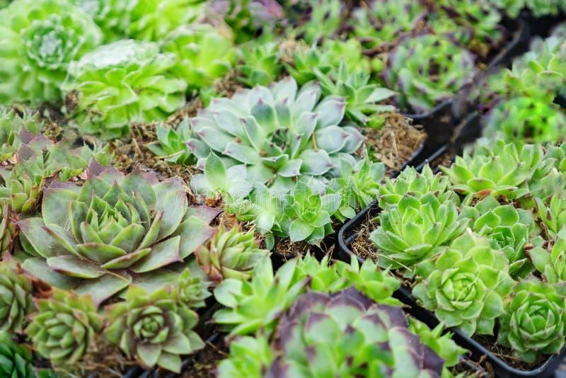 Den olika gröna kaktusväxten med grova spikar och andra houseplants i små krukor i trädgård shoppar royaltyfria foton