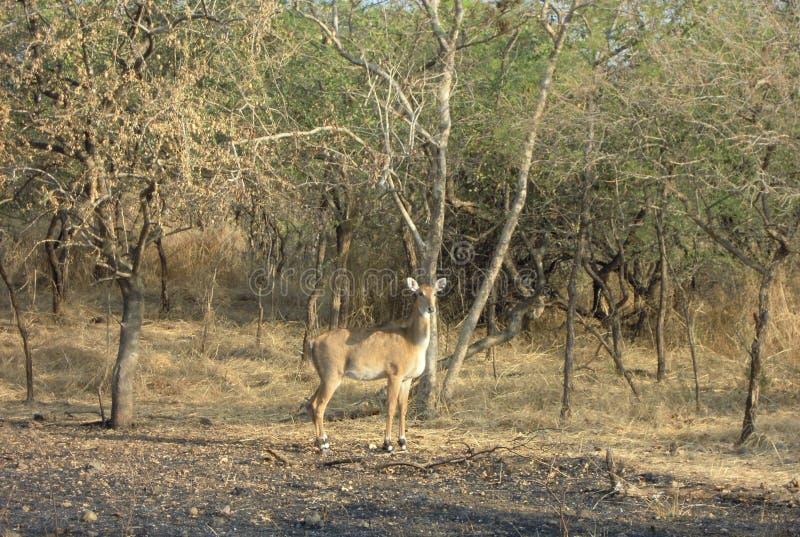 Den olika typen av hjortar på girreservskogen av gujarat i Indien royaltyfri fotografi