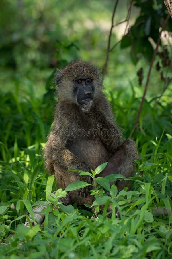 Den olivgröna babianen sitter med handen på hakan royaltyfria foton
