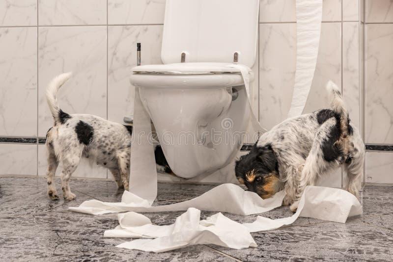 Den olydiga hundkapplöpningen gör en röra i lägenheten Liten jagare Jack Russell Terrier royaltyfri foto
