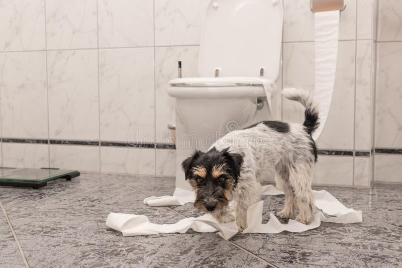 Den olydiga hundkappl?pningen g?r en r?ra i l?genheten Liten jagare Jack Russell Terrier arkivfoton