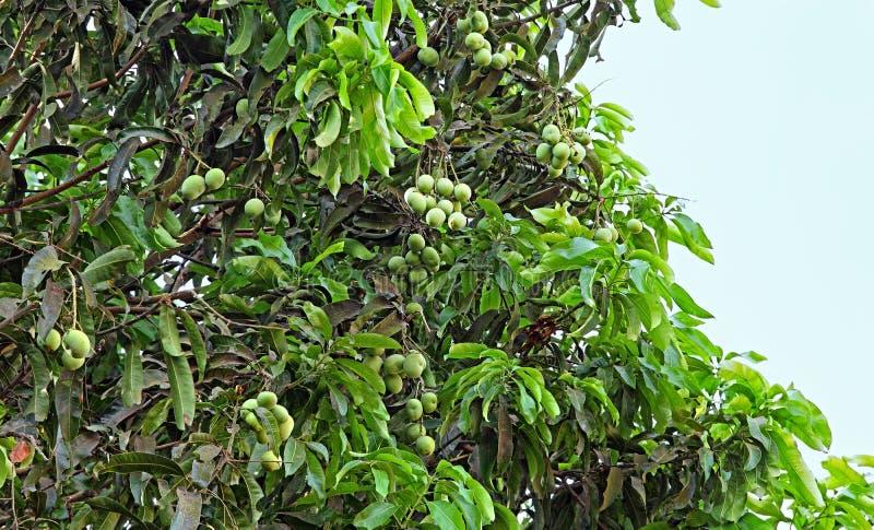 Den omogna mango bär frukt i träd royaltyfri foto