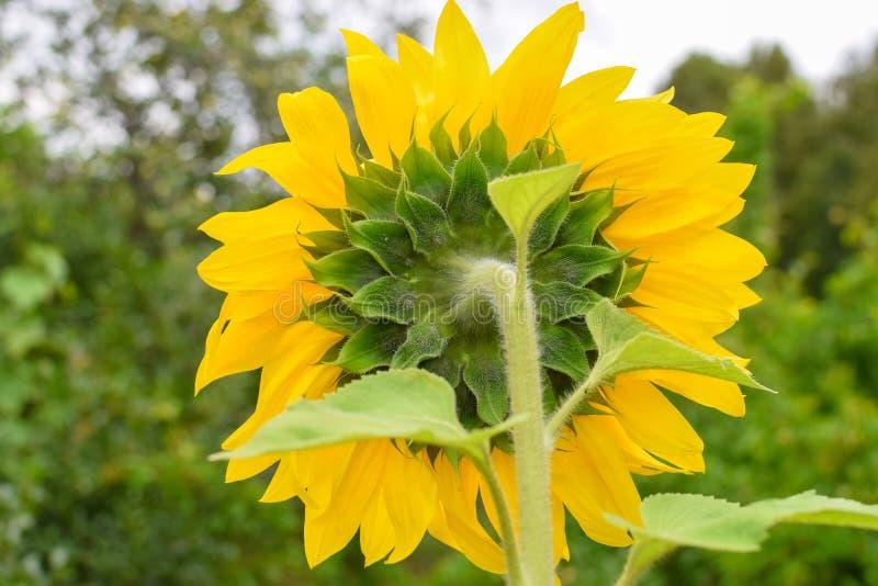 Den omvända sidan av solrosen med gröna sidor och gula kronblad på trädgården arkivfoto