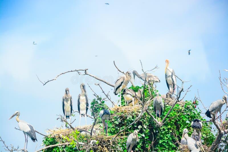 Den Openbill storken är på trädet arkivfoto