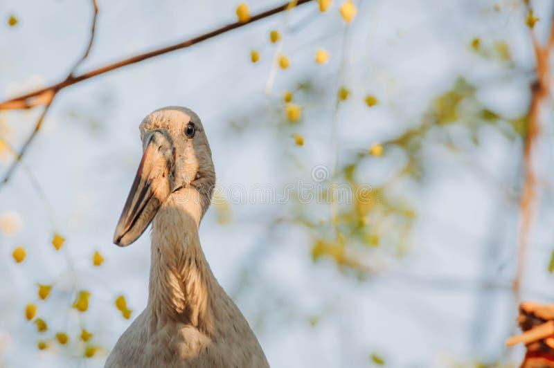 Den Openbill storken ser något att äta i eftermiddagen fotografering för bildbyråer