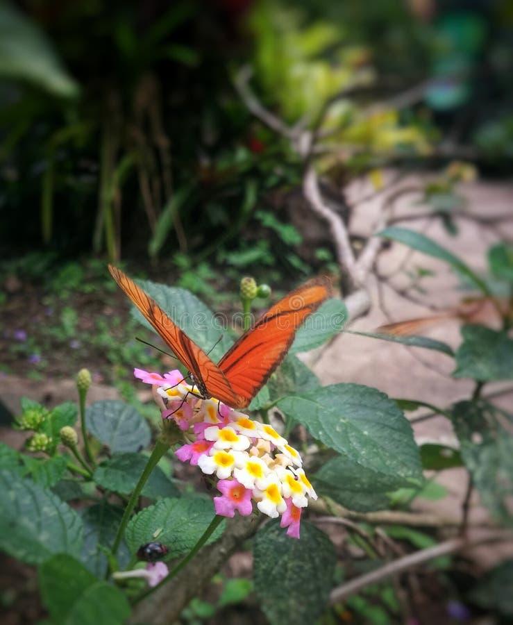 Den orange fjärilen sätta sig på små vit- och rosa färgblommor arkivfoton
