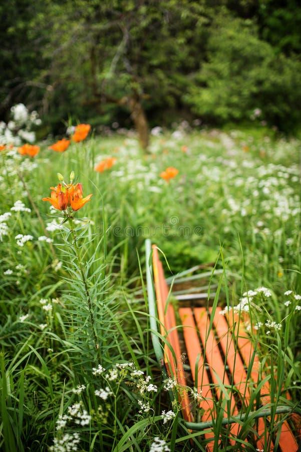 Den orange gamla bänken i en lös trädgård med liljor, den lösa moroten blommar royaltyfri fotografi
