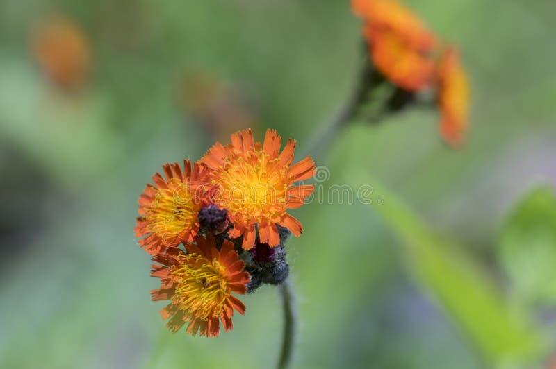 Den orange hawkweeden blommar i blom, lösa dekorativa blomningväxter royaltyfria foton