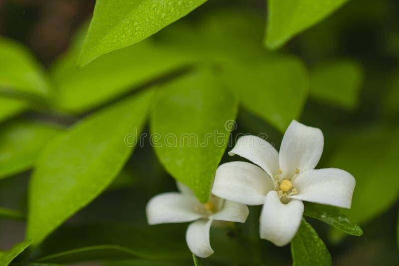 Den orange jasmin som blommar i trädgården, den vita blomman, stänger sig upp royaltyfri fotografi