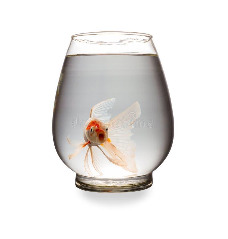 Den orange Koi karpen som ser kameran med munnen, öppnade i en glass behållare arkivbild