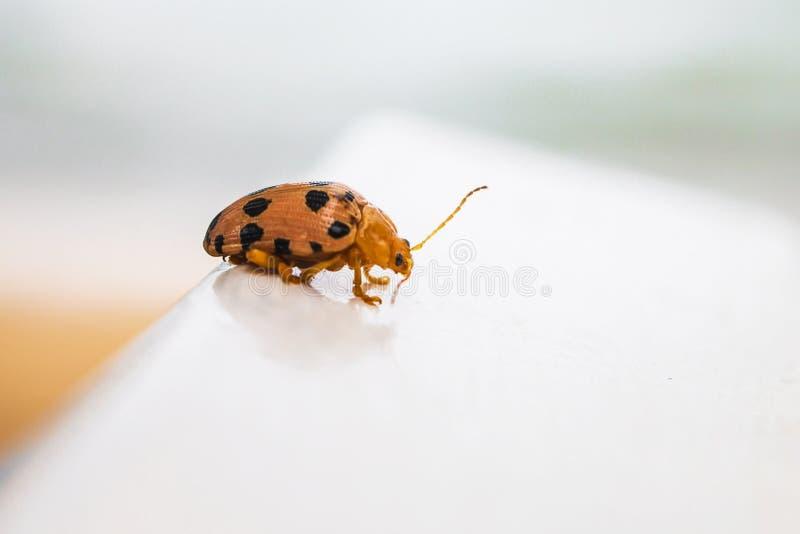 Den orange nyckelpigaskalbaggen irrar på hal jordning arkivfoton