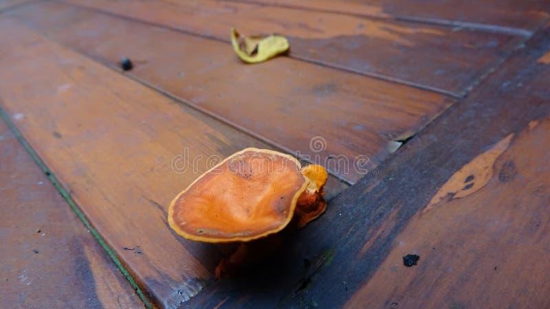 Den orange svampen växer på en träsoffa royaltyfria foton