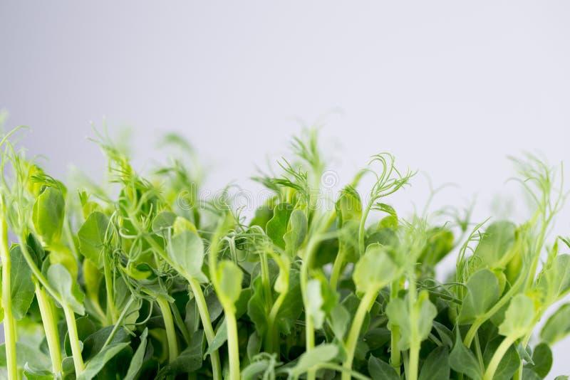 Den organiska ärtan spirar i vit bakgrund royaltyfri fotografi