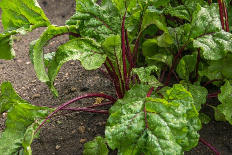 Den organiska gröna röda unga beta lämnar nära upp Dagg på betasidor royaltyfri fotografi