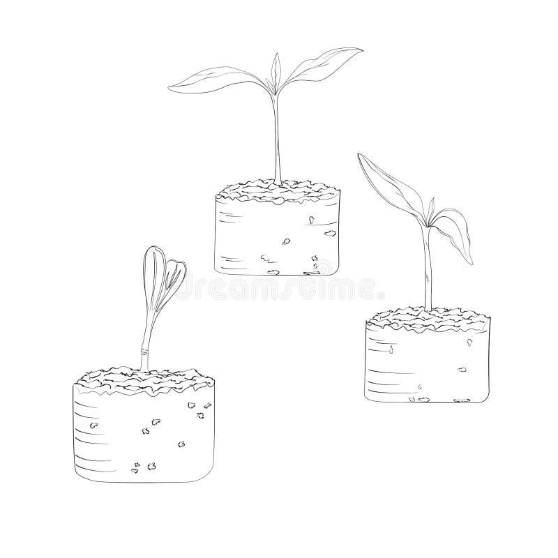 Den organiska kultiverade växten växer från kärnar ur i jordningen och etappen av groende av de första sidorna vektor illustrationer