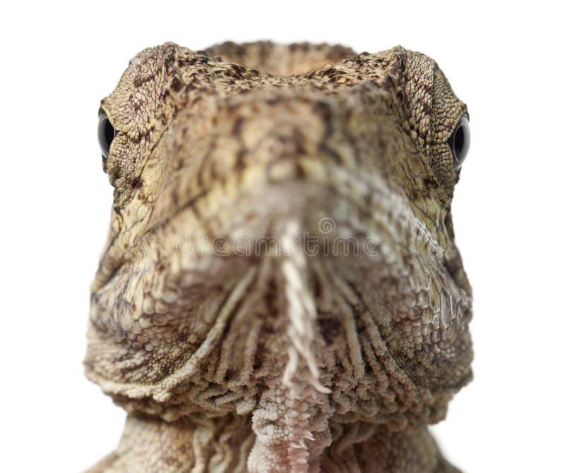 Den Oriente uppsökte Anole eller Anolisporcusen, den Chamaeleolis porcusen, Polychrus är ett släkte av ödlor, kallade gemensamt b royaltyfri bild