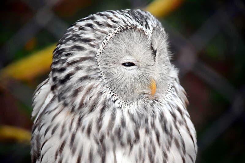 Den Owl Strix Uralensis Macroura Head ståenden lagerför fotoet arkivfoto
