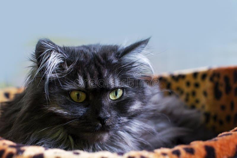 Den päls- katten med guling synar i sunbed royaltyfri bild