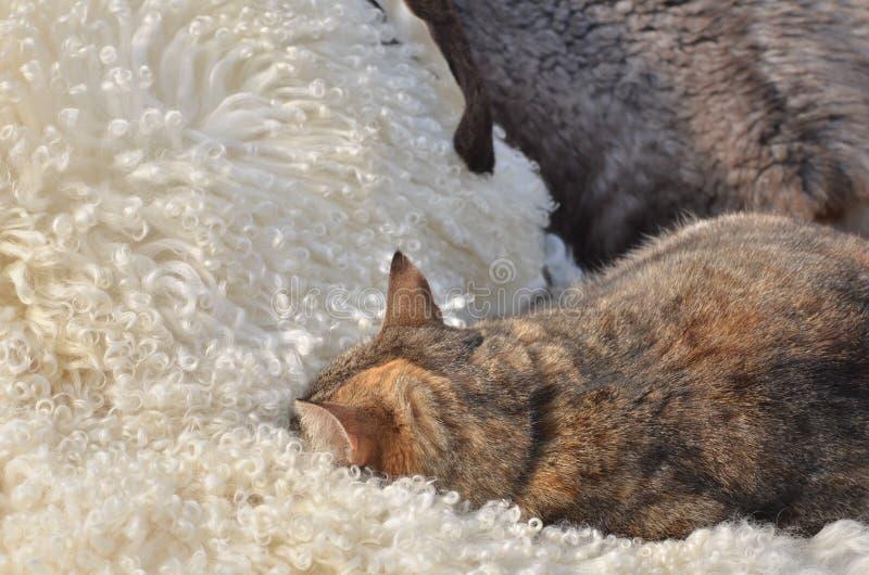 Den päls- katten sover på pälsar royaltyfri foto