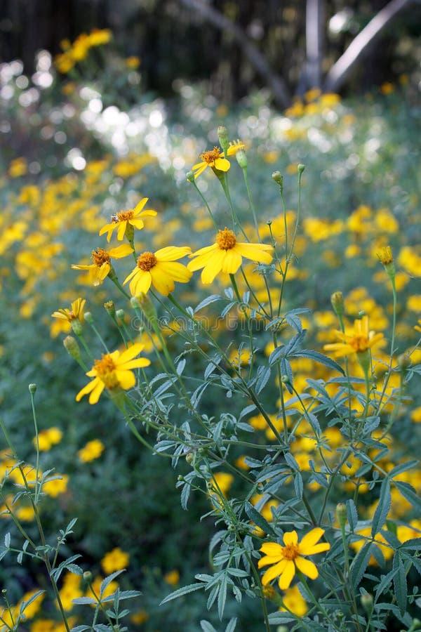 Den parfymerade ringblomman eller guld- tagetes blommar med gula kronblad, den guld- sammansatta mitten och grå färg-gräsplan sid fotografering för bildbyråer