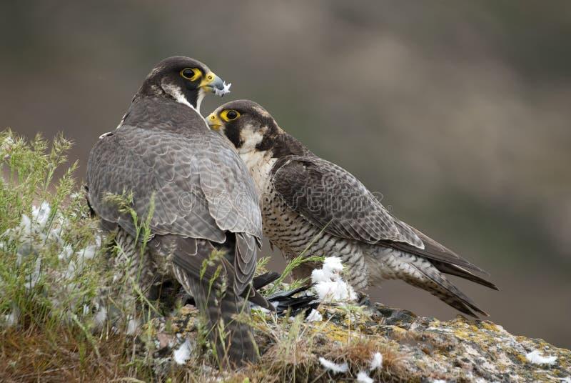 Den Peregrine falken på vaggar, kopplar ihop att dela deras rov, en duva, den Falco peregrinusen royaltyfria foton