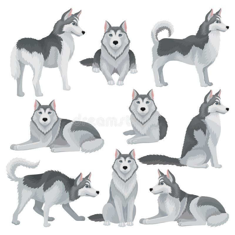 Den plana vektoruppsättningen av Siberian skrovligt i olikt poserar Den förtjusande inhemska hunden med grå färger täcker och slö royaltyfri illustrationer