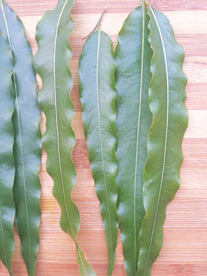 Den Polyalthia longifoliaen lämnar bakgrund royaltyfria bilder