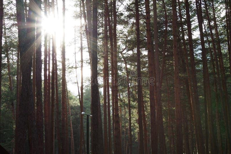 Den Pruce skogen, pineryen, pinjeskog, sörjer trädet, den felika skogen, orörd prydlig skog arkivfoton