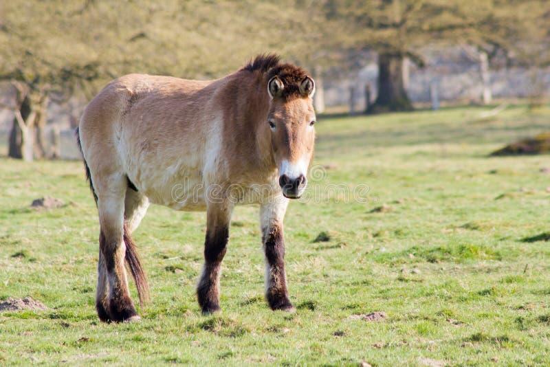 Den Przewalski hästen, också Takhi, asiatisk vildhäst eller den kallade mongoliska vildhästen, är den enda underarten av vildhäst arkivbilder