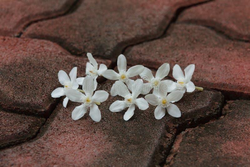 Den PUD Pitchaya blomman arkivfoto