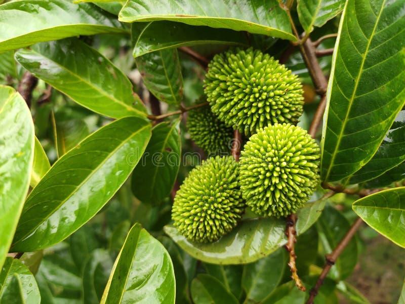 Den pulasan frukten eller den vetenskapliga namnnepheliumen Mutabile Blume kallas ofta den lösa rambutanen av lokalerna arkivfoto