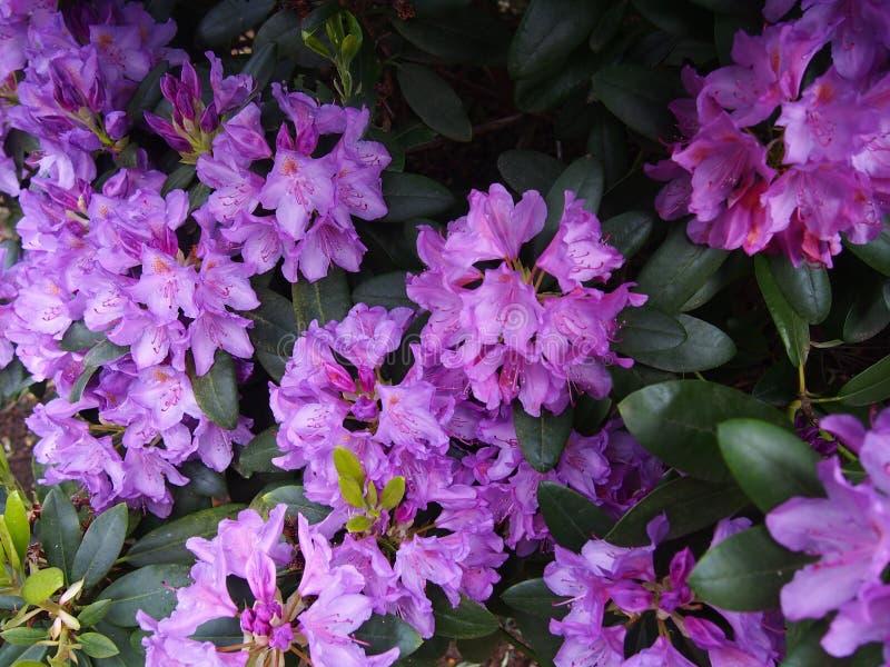 Den purpurfärgade azalean blommar Glinna den dendrological trädgården, Polen, Maj 2019 royaltyfri fotografi