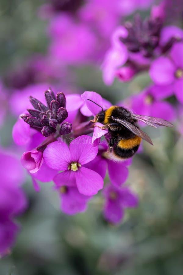 Den purpurfärgade blomman med stapplar biet fotografering för bildbyråer