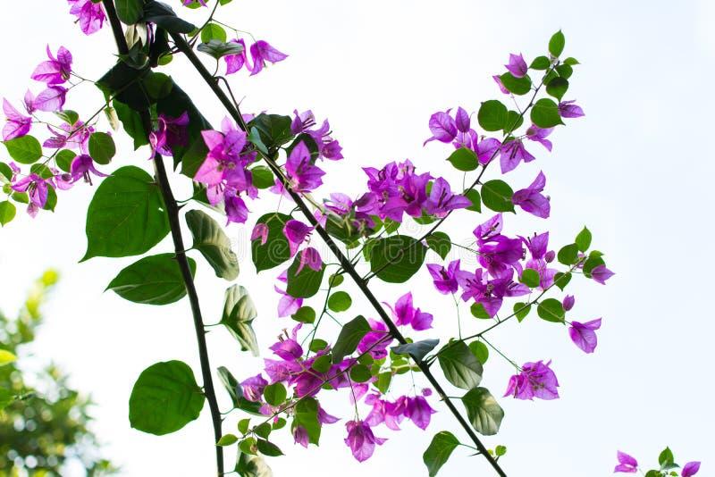 Den purpurfärgade bougainvillean blommar med gröna sidor arkivfoto
