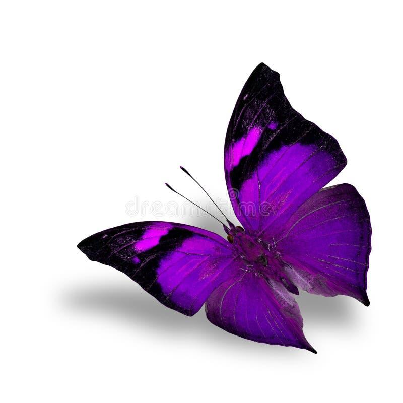 Den purpurfärgade fjärilen för härligt flyg på vit bakgrundswiith arkivbilder