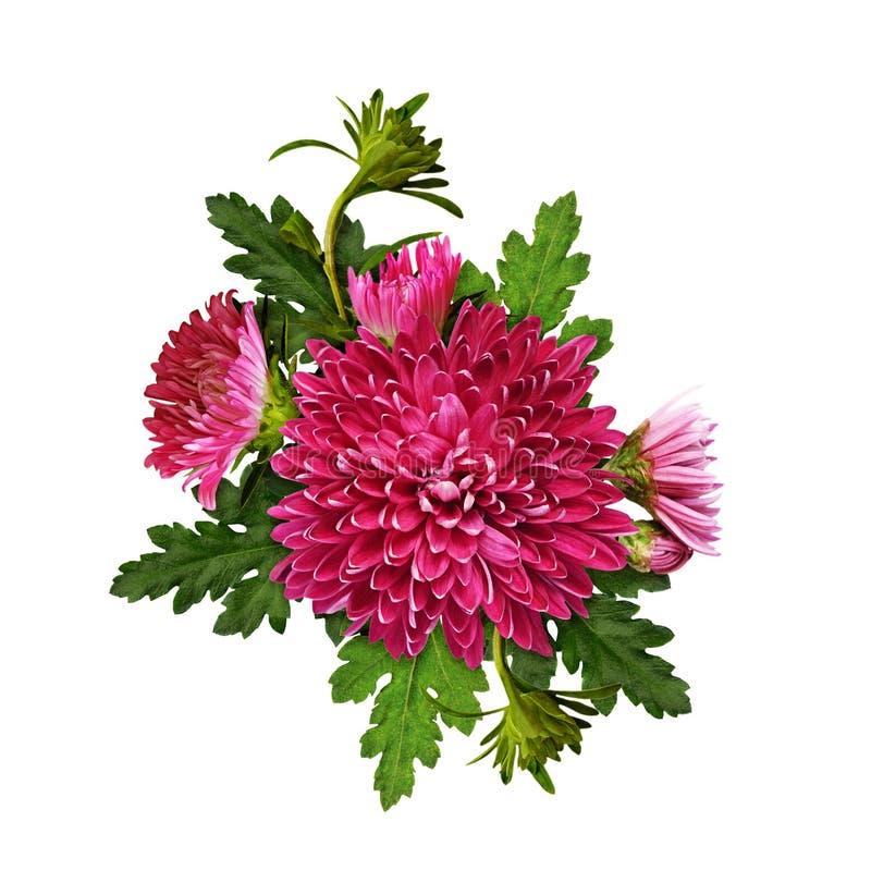 Den purpurfärgade krysantemumet blommar och slår ut med gröna sidor i arran royaltyfria foton