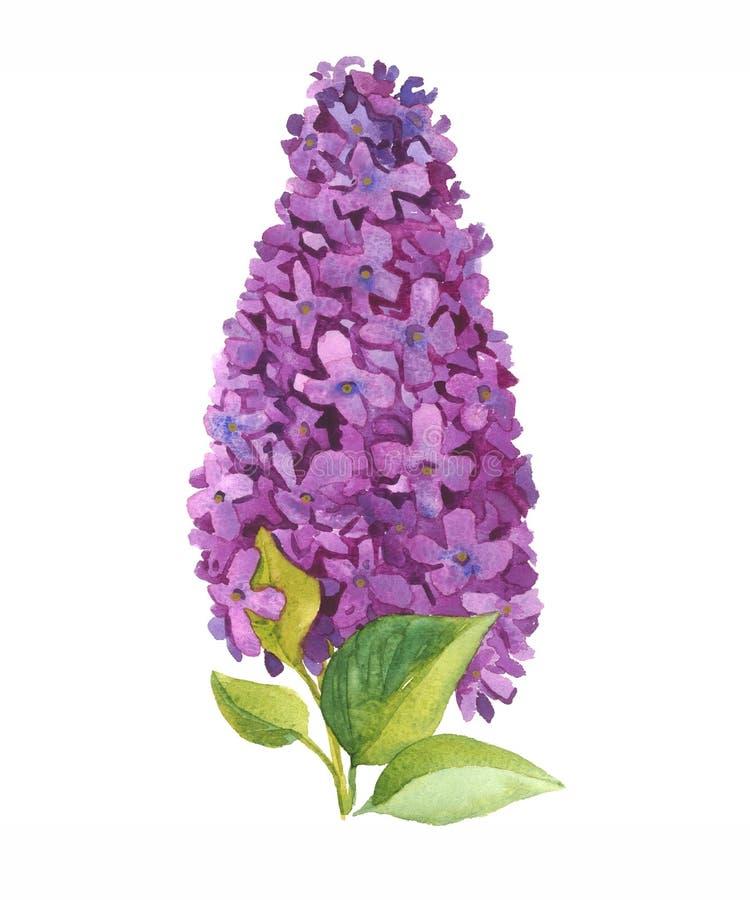 Den purpurfärgade lilan blommar den blommande filialen med sidor som isoleras på vit vektor illustrationer